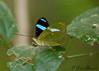 Common Olive-wing <br /> Nessaea aglaura