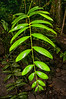 Calamus Rattan vine in the rain forest on Yapen Island, Papua, 2009.