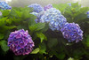 Bigleaf Hydrangea (Hydrangea macrophylla) blooming in the mountain fog around the temple at Doi Inthanon, Thailand, June 2006. [Hydrangea macrophylla 006 DoiInthanon-Thailand 2006-06]