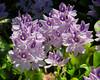 Eichhornia crassipes 004 YapenIs-Papua 2006-11
