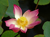 Lotus flower (Nelumbo nucifera), Bali, Indonesia, June 2007. [Nelumbo nucifera 001 Bali-Indonesia 2007-06]