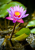 Nymphaea hybrid waterlily, in Bali, Indonesia, June 2007. [Nymphaea hybrid 009 BaliBP-Indonesia 2007-06]