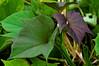 Edible Sweet Potato (Ipomoea batatas) leaves, Yapen Island, Papua, Indonesia, April 2007. [Ipomoea batatas 003 Yapen-Papua 2007-04]