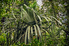 Unidentified Pandanus sp. [can anyone help identify it?] from above Sarinbuana, Mt. Batukaru, Bali, Indonesia, October, 2008. [Pandanus sp 001 MtBatukaru-Bali 2008-10]