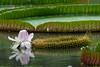 Amazon Giant Lily