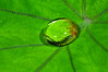 Water drop on repellant Taro (Colocasia esculenta ) leaf, on Yapen Island, Papua, Indonesia. [Colocasia esculenta 010 Yapen-Papua 2009-01]