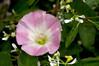 Mexican Morning Glory cultivar (Ipomoea tricolor) in a Fullerton garden, California, July 2007. [Ipomoea tricolor 001 Fullerton-CA-USA 2010-07]