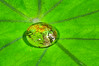 Water Drop on Taro Leaf