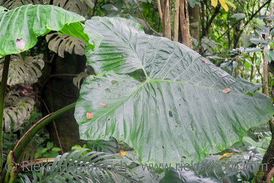 Large leaf in tropical rainforest - Costa Rica