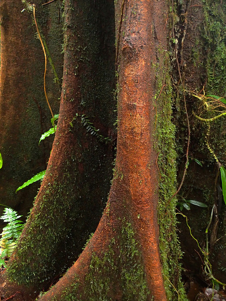 The exquisite form of tree trunk buttresses in a Costa Rican rain forest.