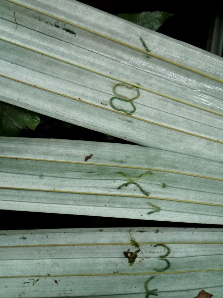 Why insects are so successful: they multiply!!<br /> <br /> These symmetrical marks around fold lines of a Cryosophila palm leaf were made before the leaf unfolded, probably the work of leaf beetles, Prosopodonta sp. (Chrysomelidae; Cassidinae, Prosopodontinae). Thanks to Don Windsor at the Smithsonian Tropical Research Institute for that tentative identification.