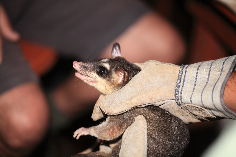 Gray four-eyed opossum (Philander opossum) caught in a live trap and about to be tranquilized, tagged and released. Alberto Manuel Brenes Biological Reserve, Costa Rica.