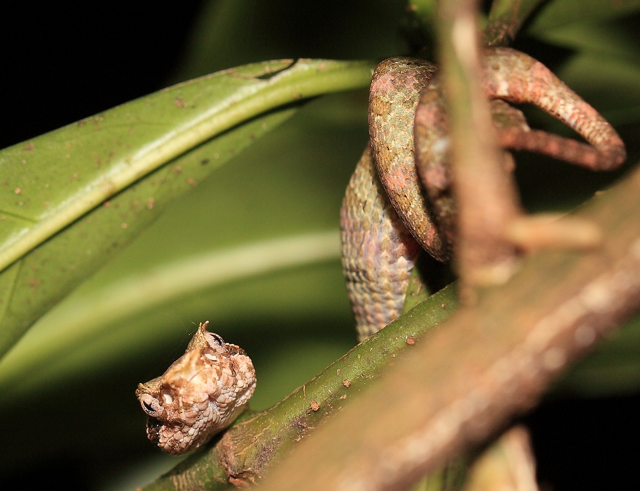 Small eyelash viper (Bothriechis schlegelii) with a full belly (probably a small lizard).