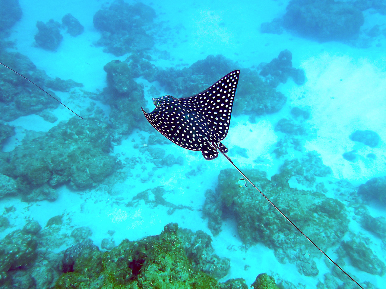 Spotted eagle ray (Aetobatus narinari) at Isla del Cano.