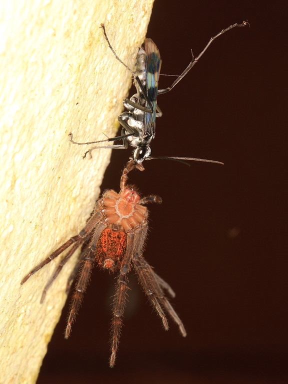 Wasp dragging away to its mud nest a spider it has paralyzed and that will be consumed by the wasp's larvae.