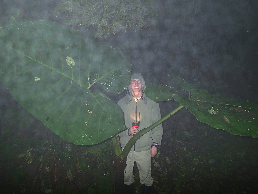 Reed, at night in the rain, providing scale for a Xanthasoma undipes (Araceae) plant. Alberto Manuel Brenes Biological Reserve, Costa Rica.