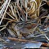 Swamp Sparrow 2/23/2011