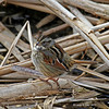Swamp Sparrow at harrier - 2/25/2011