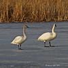 Trumpeter Swan at Harrier Marsh - 2/23/2011