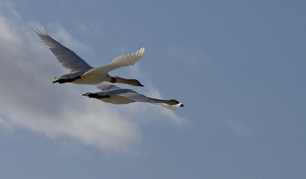 Trumpeter Swans, shrike and ???