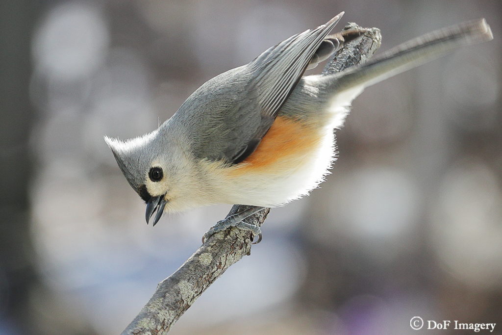 IMAGE: https://photos.smugmug.com/Nature/Tufted-Titmouse/i-drb3hPF/0/9024ca0b/XL/IMG_2706-XL.jpg