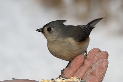 this photo was taken at Goose Island in LaCrosse County...many of the winter birds feed readily out of one's hand