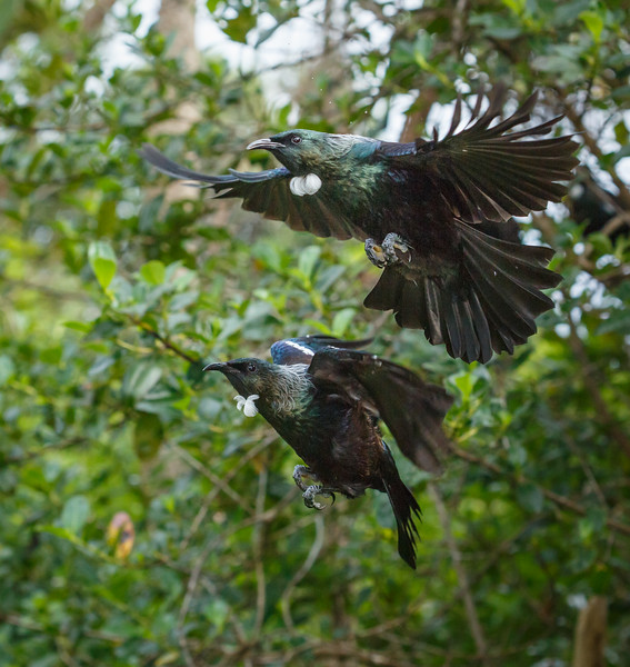 Two Tui in flight