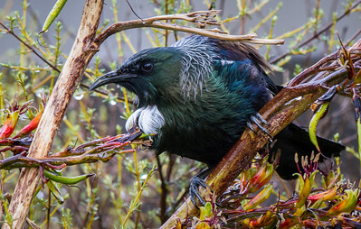 Tui   Tui in Wellington, near the Terrace tunnel
