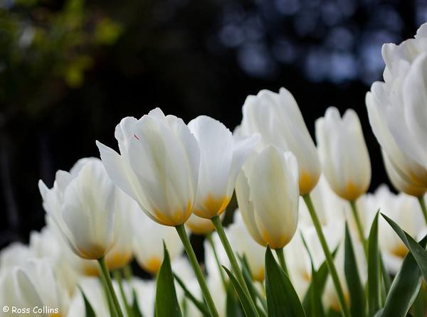 Wellington Tulip Gardens 2012