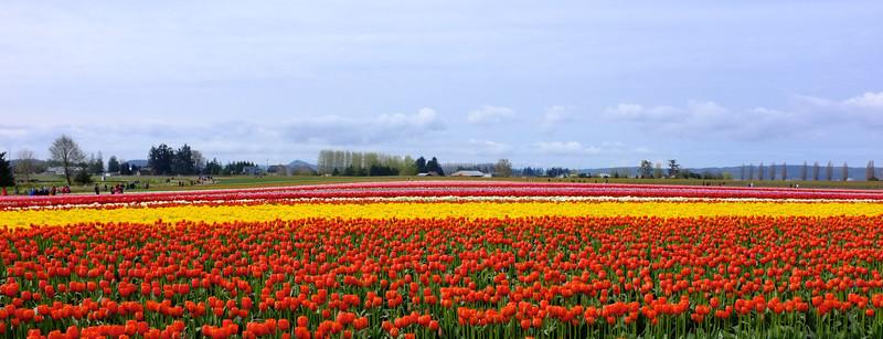 Tulip Town 2012