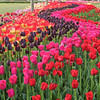 Tip-Toeing-in-the Tulips 5