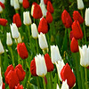 Tip-Toeing-in-the Tulips 8