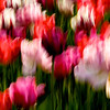 Tip-Toeing-in-the Tulips 14