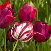 Tip-Toeing-in-the Tulips 20