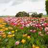 Tip-Toeing-in-the Tulips 12
