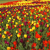 Tip-Toeing-in-the Tulips 21