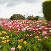 Tip-Toeing-in-the Tulips 16