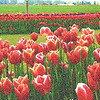Tip-Toeing-in-the Tulips 4