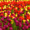 Tip-Toeing-in-the Tulips 19