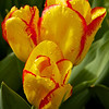 Tip-Toeing-in-the Tulips 9