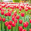 Tip-Toeing-in-the Tulips 3