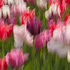 Tip-Toeing-in-the Tulips 15