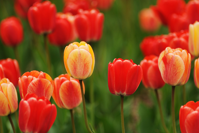Colorful red and yellow tulips in spring