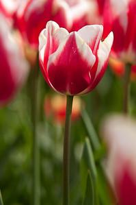 Skagit Tulip Festival-2330