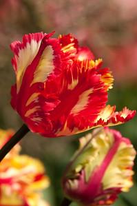 Skagit Tulip Festival-2335