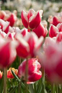 Skagit Tulip Festival-2331