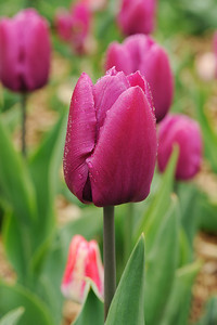 Colorful purple tulips after rain in spring
