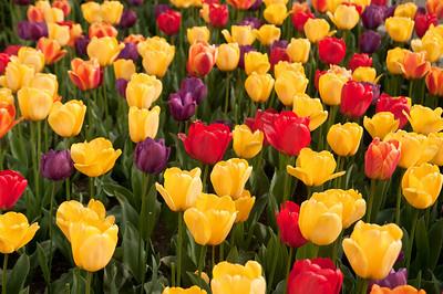 Skagit Tulip Festival-2432