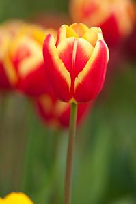 Skagit Tulip Festival-2395