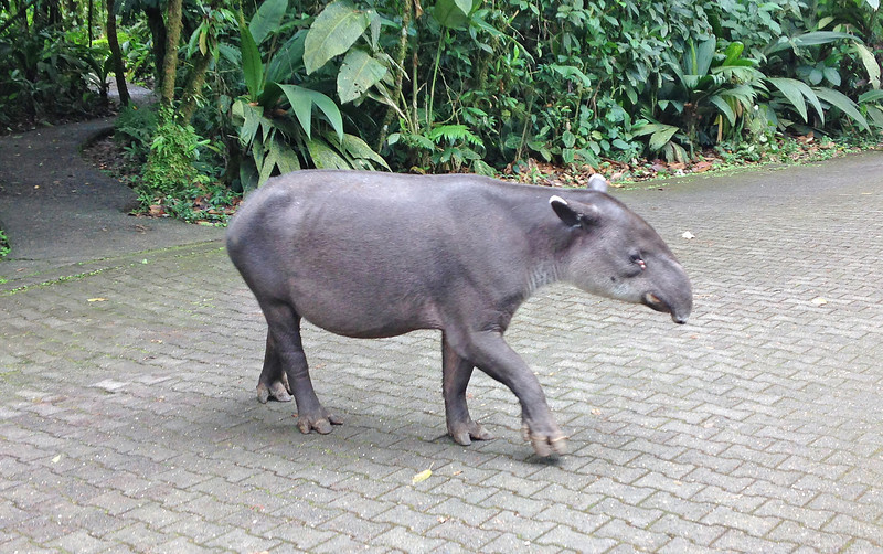 TAPIR--WALKED OUT OF RAIN FOREST INTO PARKING LOT!!